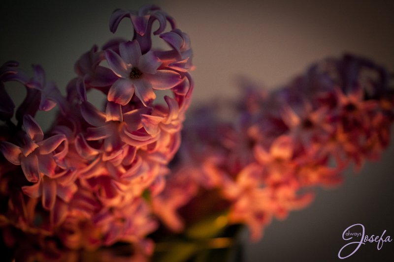 hyacinth, purple, no sleep
