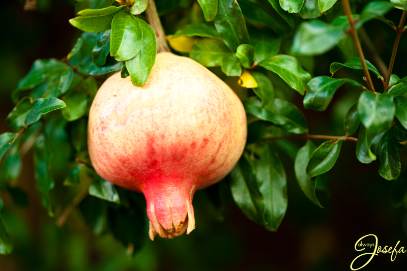 The Pomegranate Tree